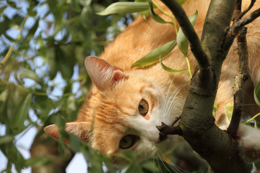 Anschaffung Katze - Roter Kater auf einem Baum